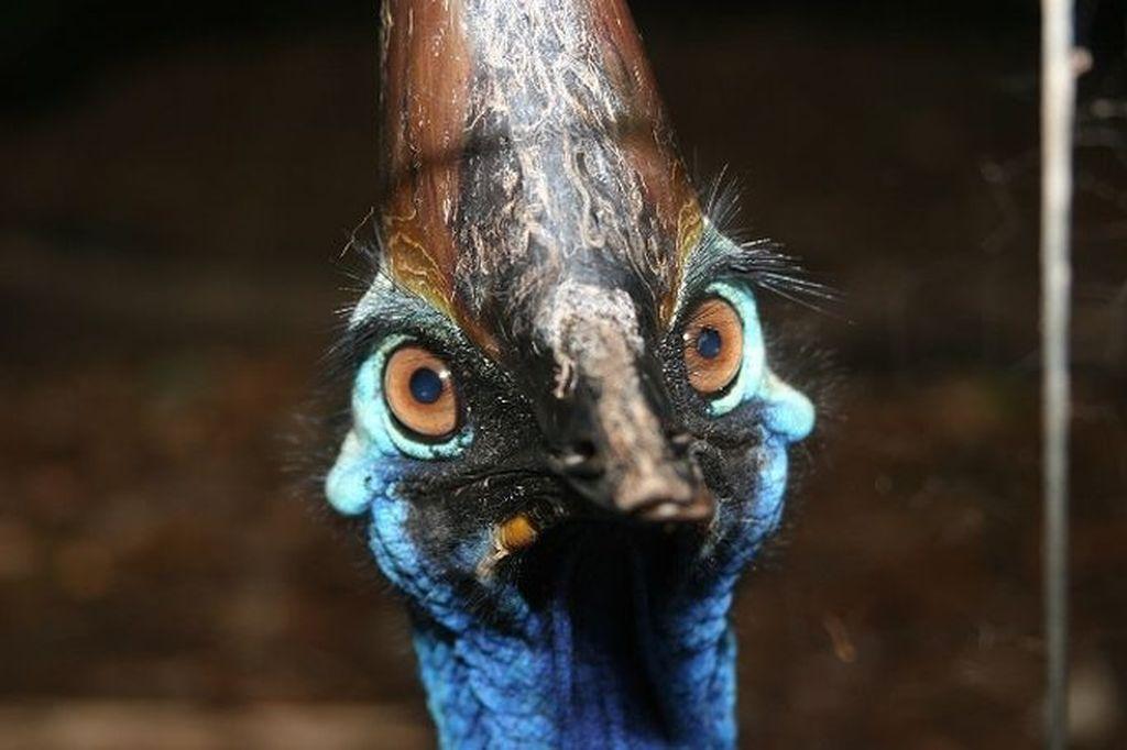 Нелетающие птицы - Казуары (лат. Casuarius)
