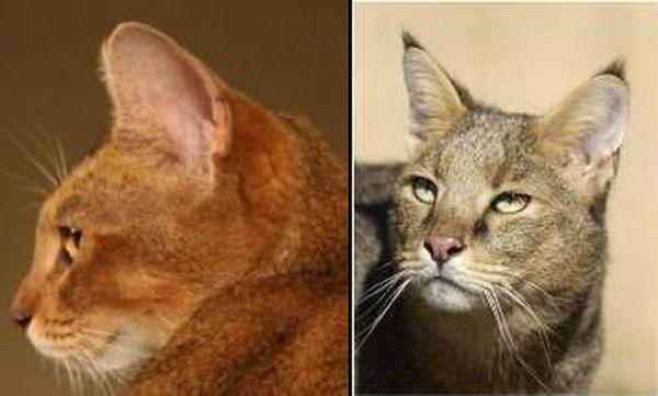 Порода кошек Чаузи (Chausie)