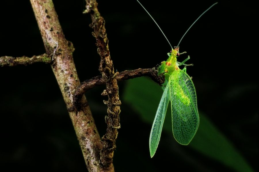 Eupithecia orichloris – плотоядная гусеница, охотница на насекомых