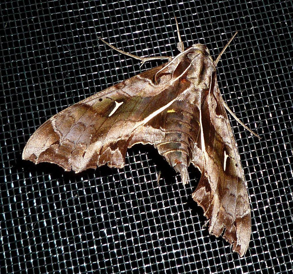 Гусеница-змея (лат. Hemeroplanes caterpillar)