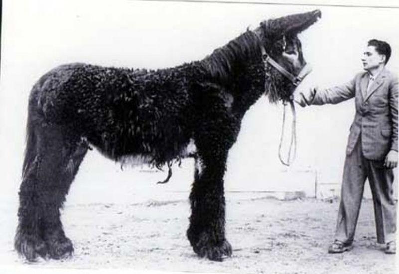 Осел Пуату (Baudet de Poitou), или мамонтовый осел