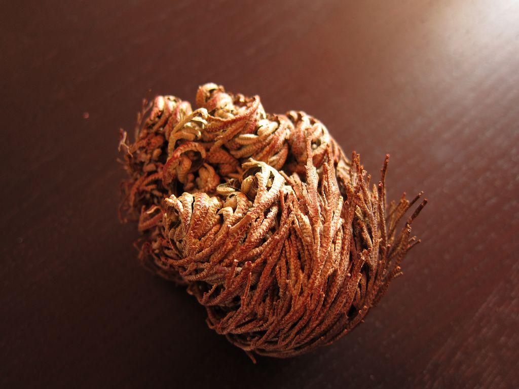 Селагинелла чешуелистная (лат. Selaginella lepidophylla)