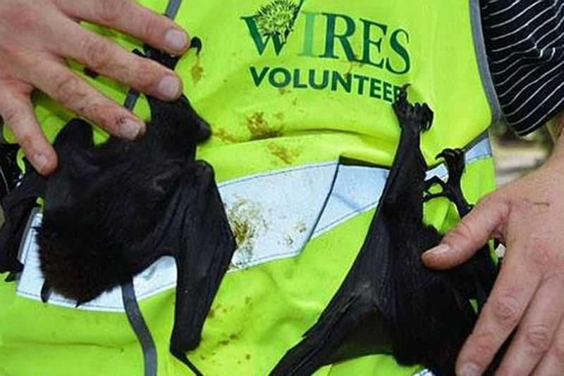 Более 5000 летучих лисиц погибло загадочной смертью