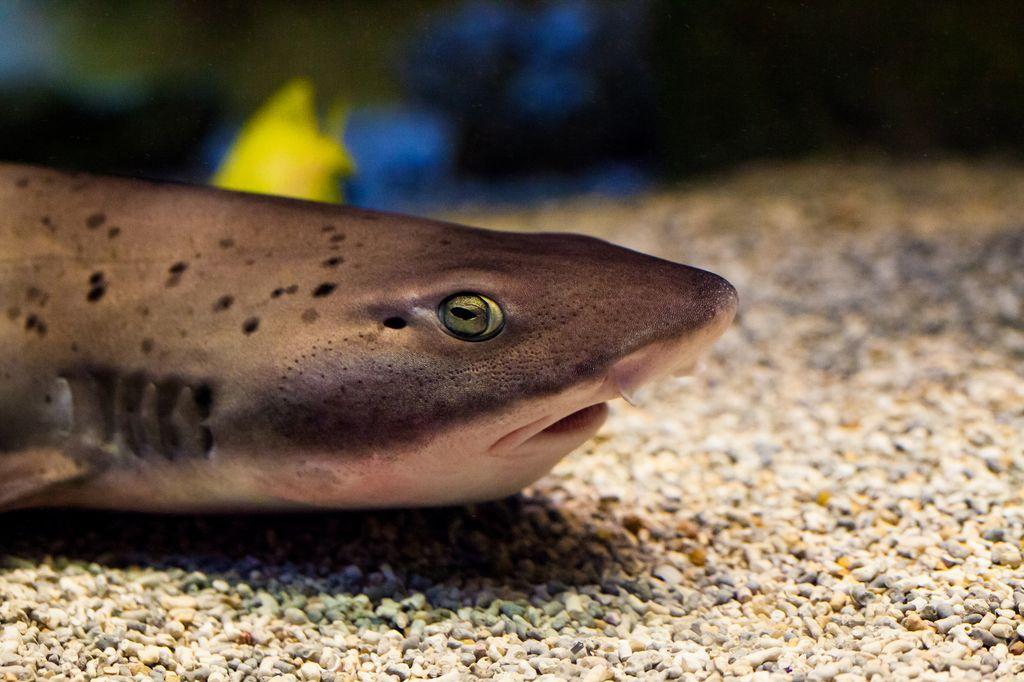 Кошачьи акулы (лат. Scyliorhinus)