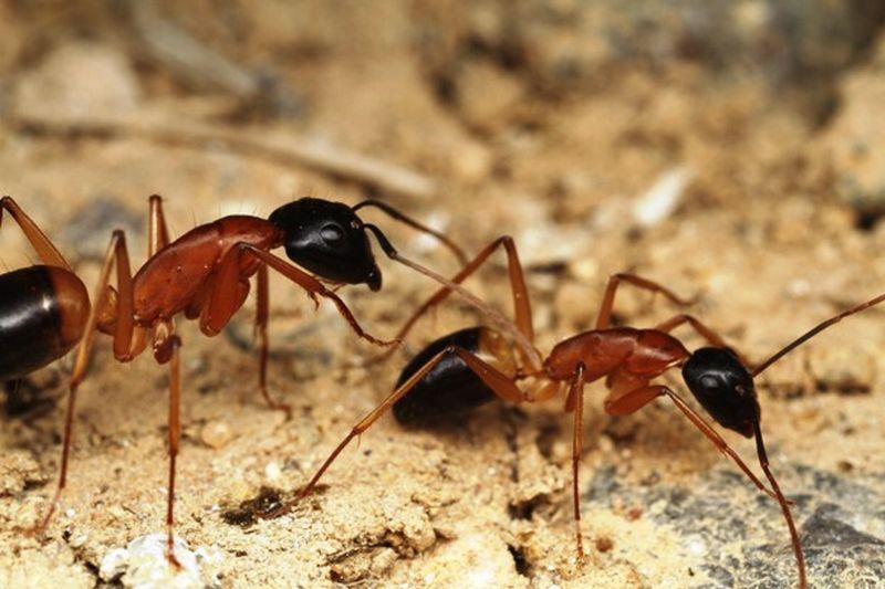 25 удивительных фактов про муравьёв