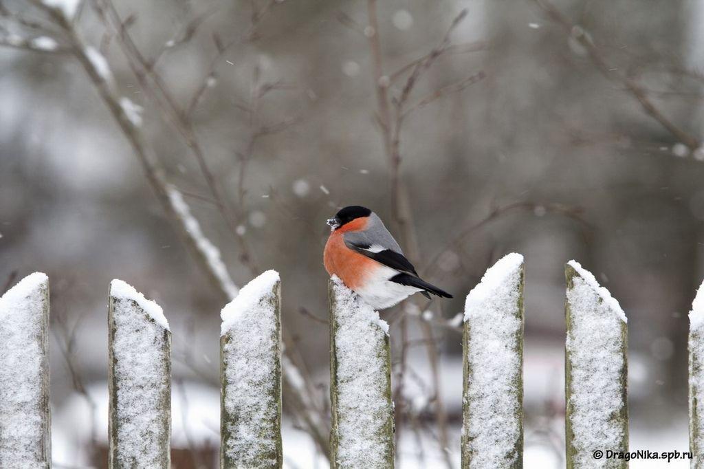 Снегирь, или обыкновенный снегирь (лат. Pyrrhula pyrrhula)