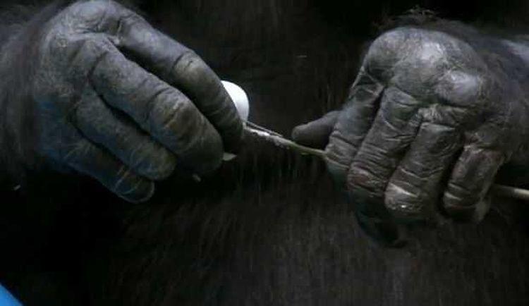 Шимпанзе самостоятельно развел костер, чтобы приготовить сладкий десерт