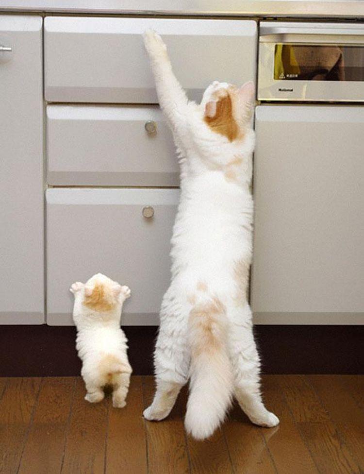 Кошки воровайки