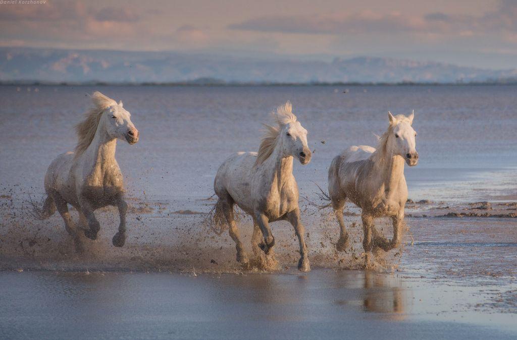 Лошади заповедника Камарг
