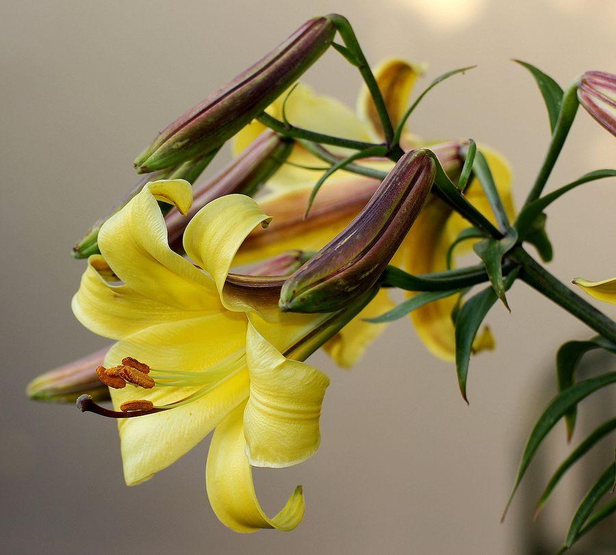 Лилия - гламурная красавица