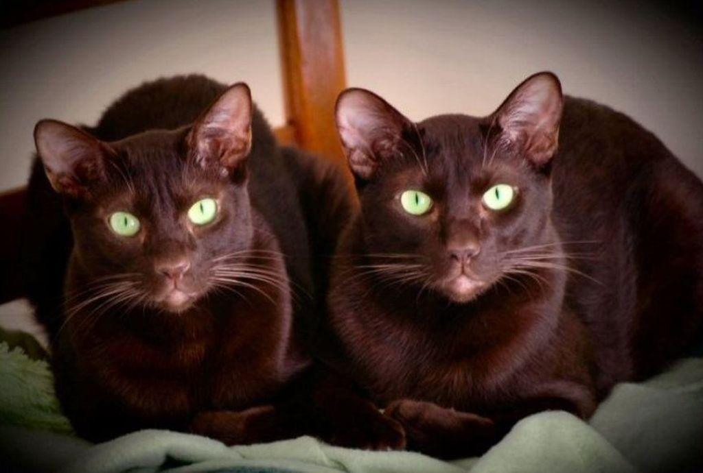 Кошки породы Гавана