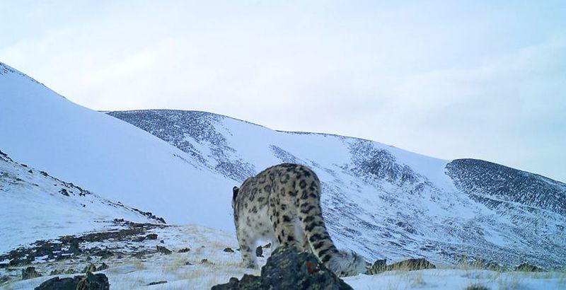 На Алтае удалось сделать редкие снимки снежного барса