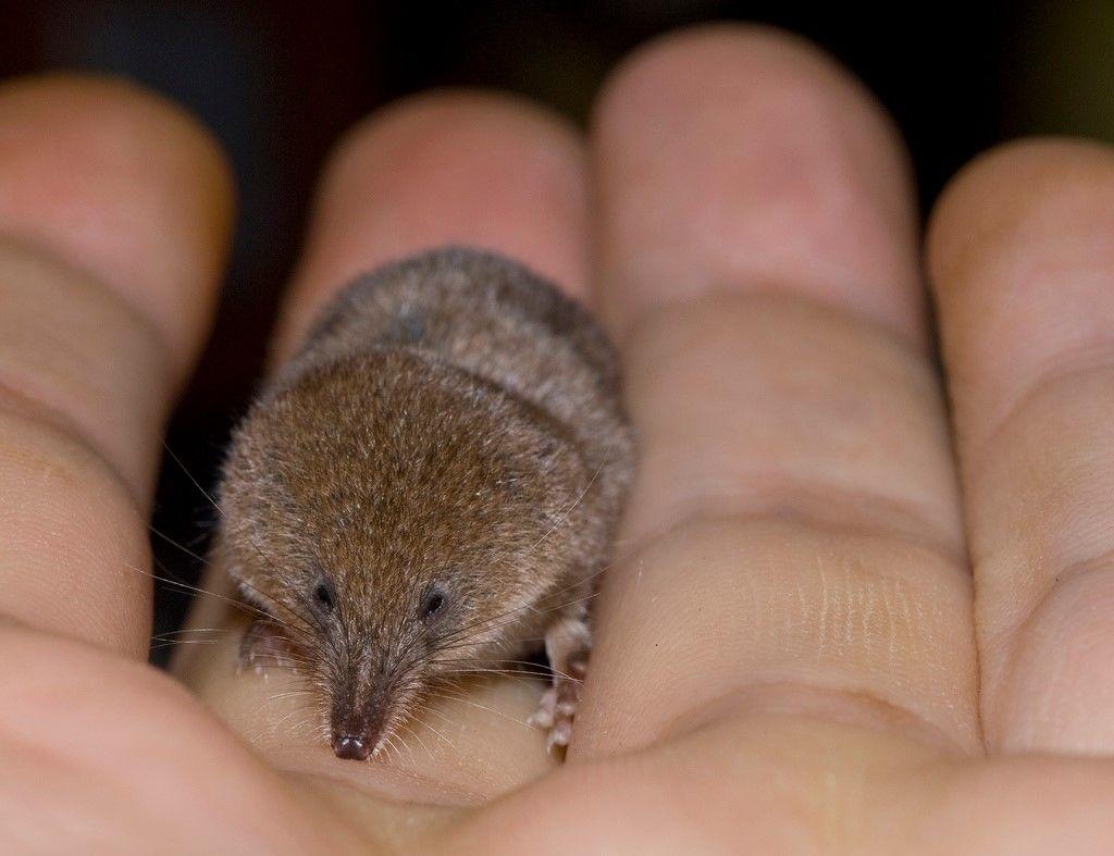 Карликовая многозубка (лат. Suncus etruscus) – самое маленькое млекопитающее