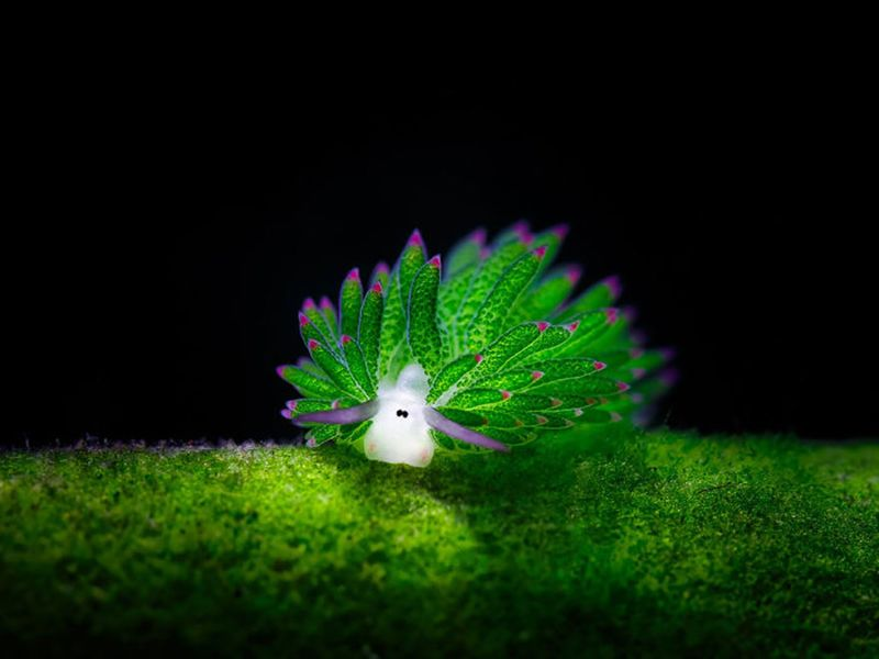 Costasiella kuroshimae, обитающий у берегов Японии, Индонезии и Филиппин.