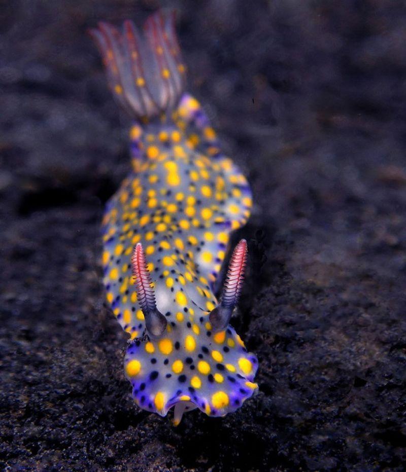 Hypselodoris Kanga - один из самых красивых по форме и окраске среди подводных обитателей.