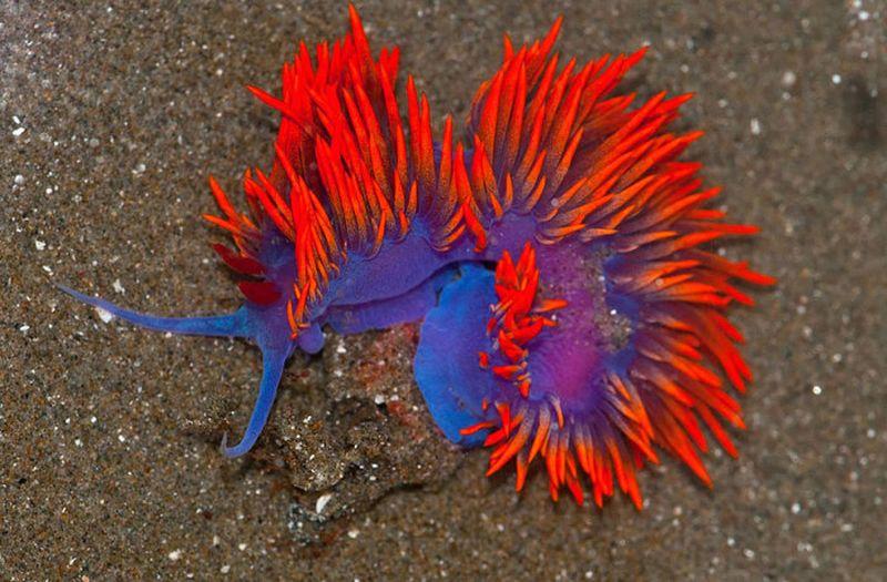 Очень красочный морской слизняк.