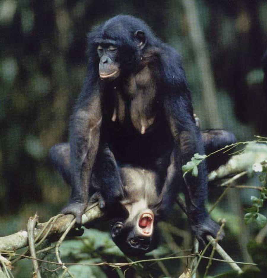 Шимпанзе и секс
