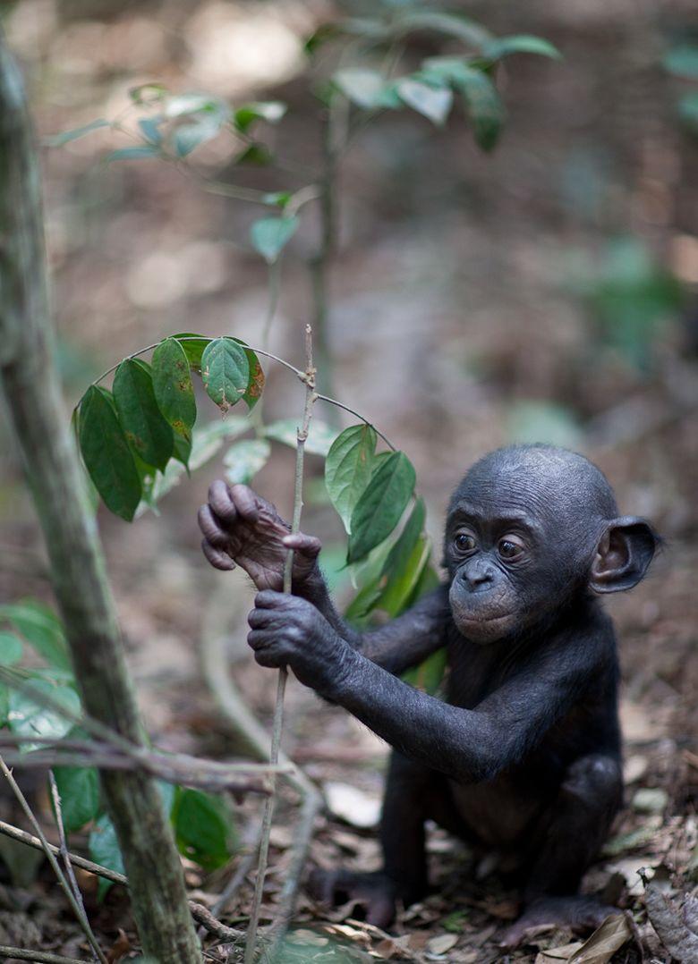 Интересные факты о карликовом шимпанзе (лат. Pan paniscus)