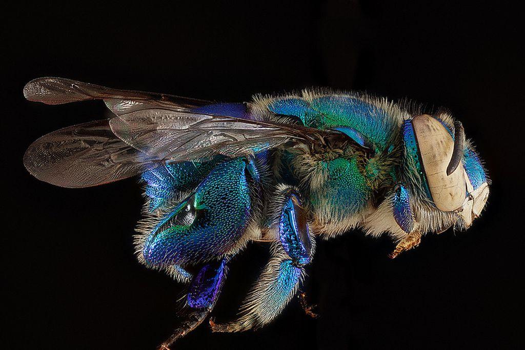 Портреты пчел в макрофотографиях Сэма Дроеджа
