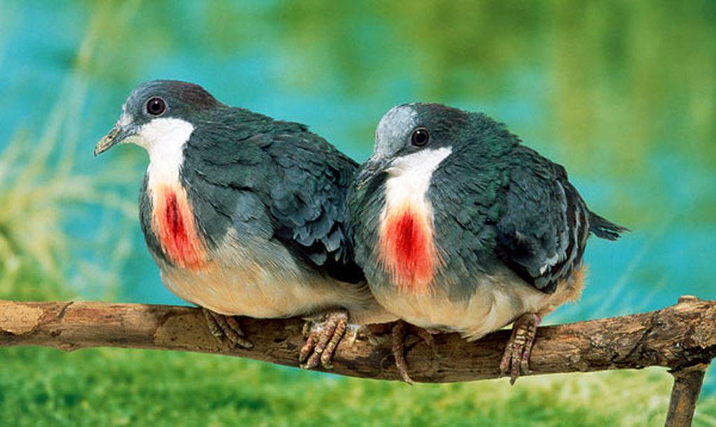 Куриные голуби