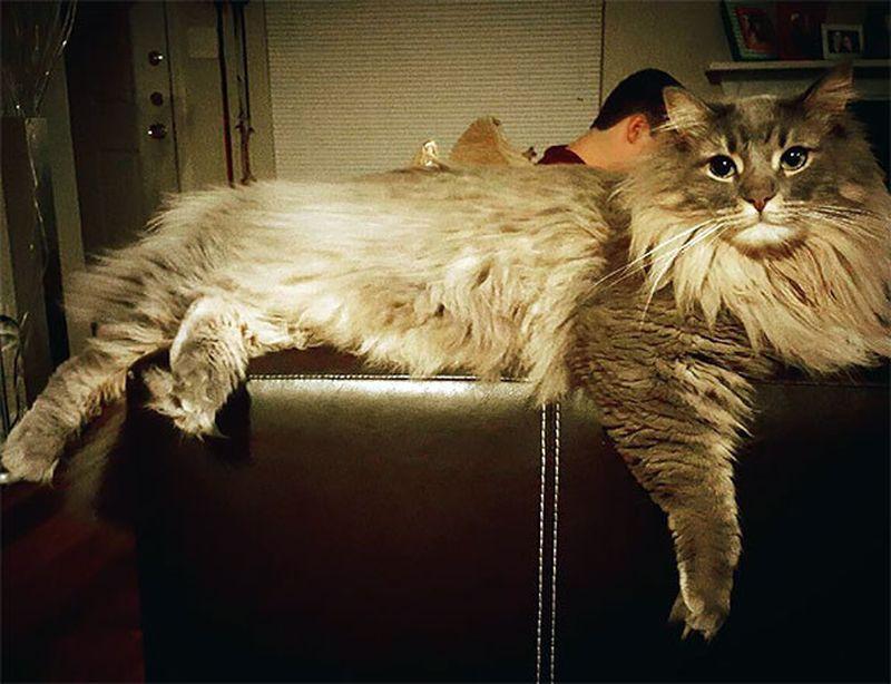 9. 9. кошка, мейн-кун, подборка.