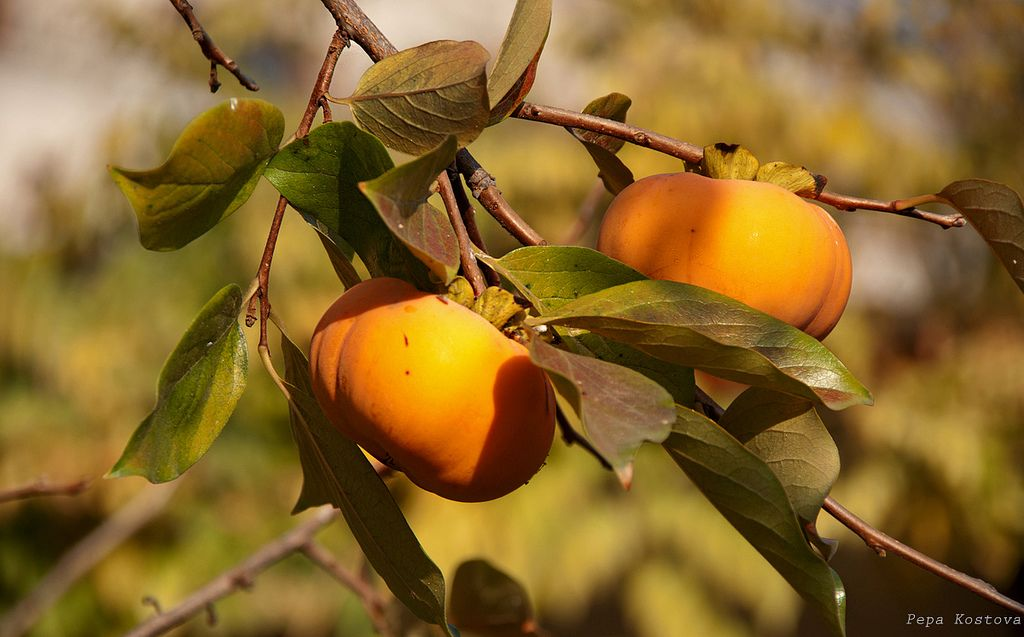 Самое вкусное оранжевое солнце. Как выбирать хурму