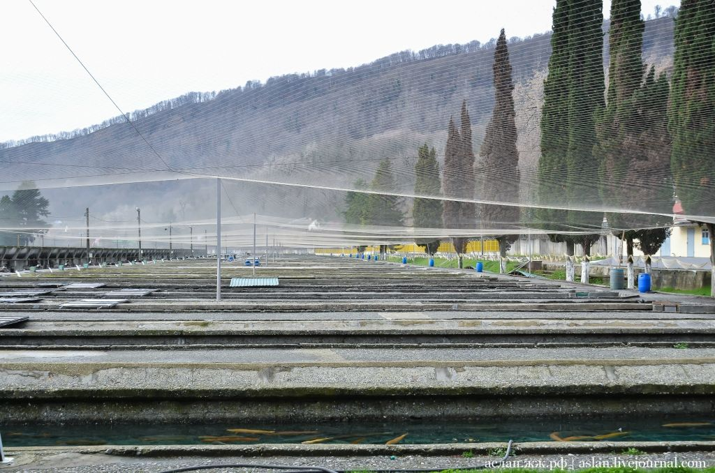 Как выращивают форель