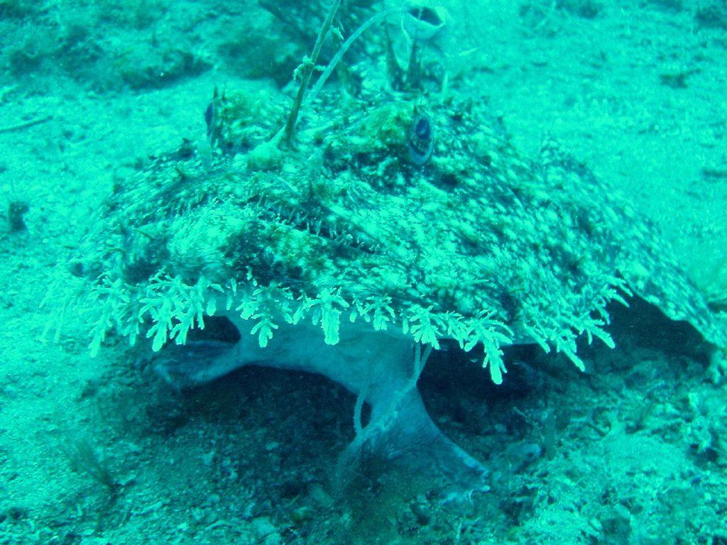 Европейский удильщик, или европейский морской чёрт (лат. Lophius piscatorius)