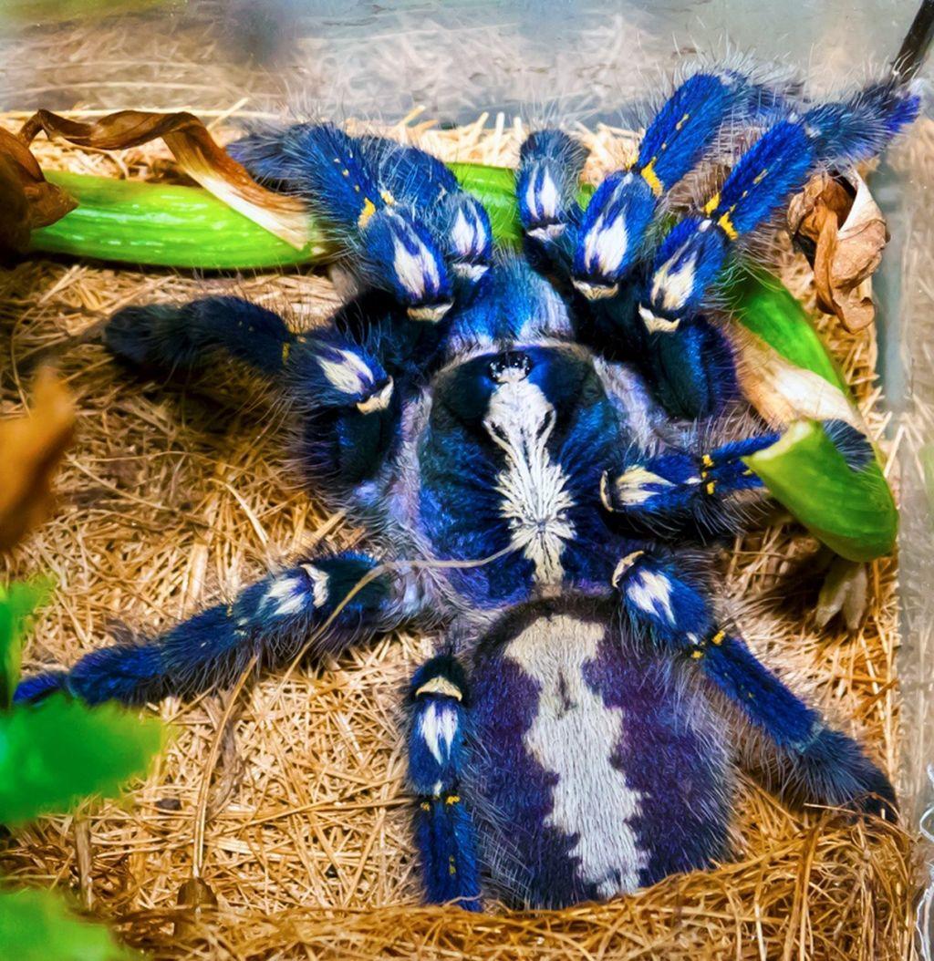 Паук-птицеед Poecilotheria metallica