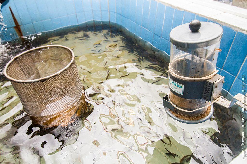 Как выращивают сёмгу и лосось