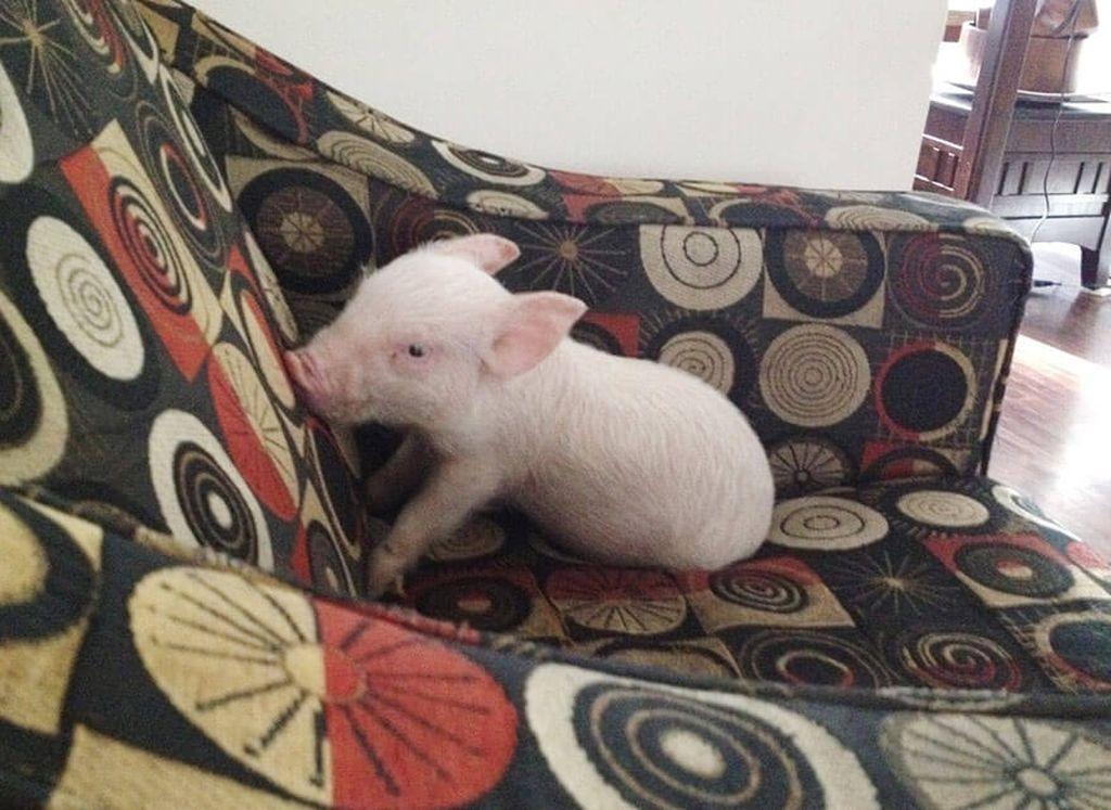Свинья Эстер, которая думает, что он собака