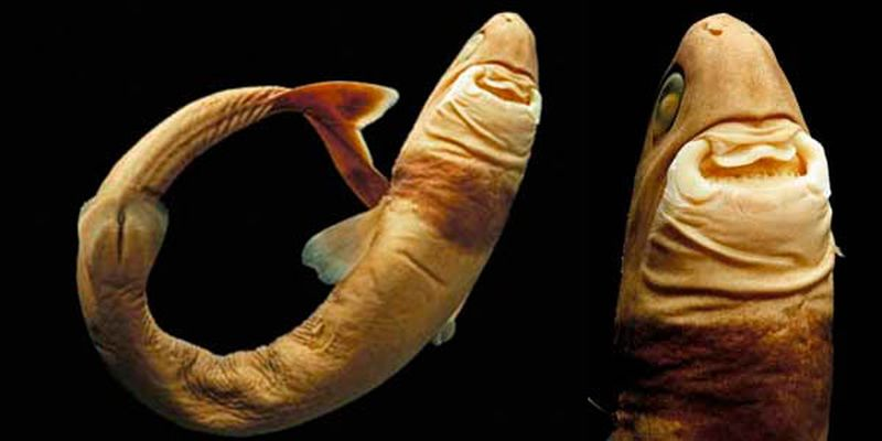 Бразильская светящаяся акула (лат. Isistius brasiliensis)