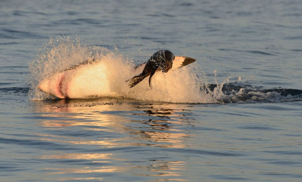 Большая охота белой акулы