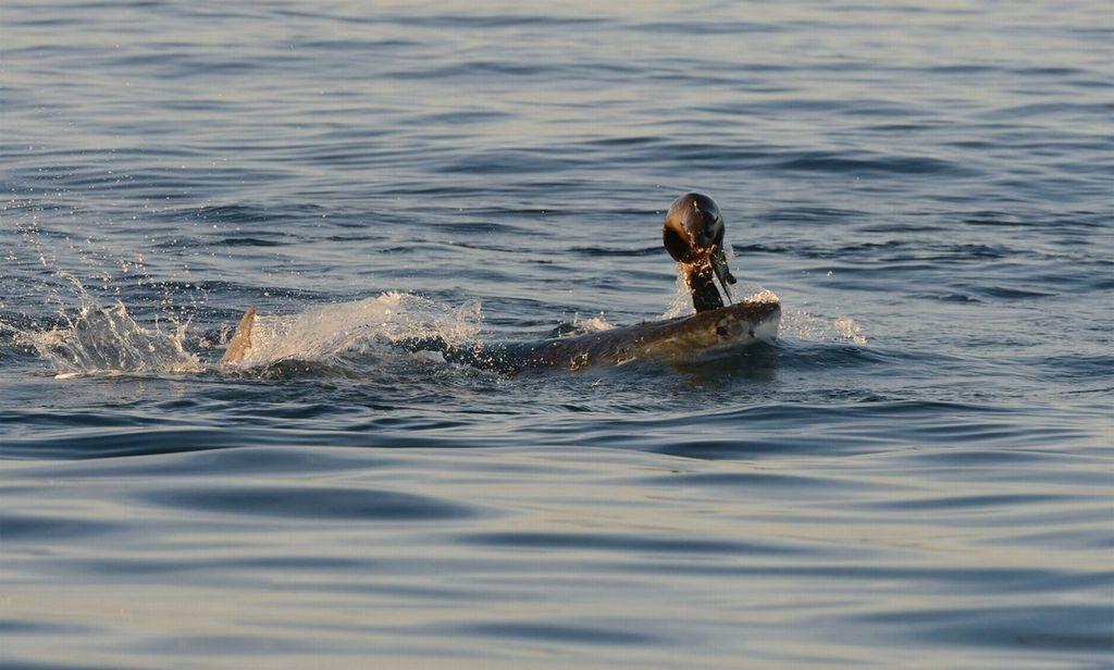 Дайверы сняли навидео неудавшееся «нападение» большой белой акулы