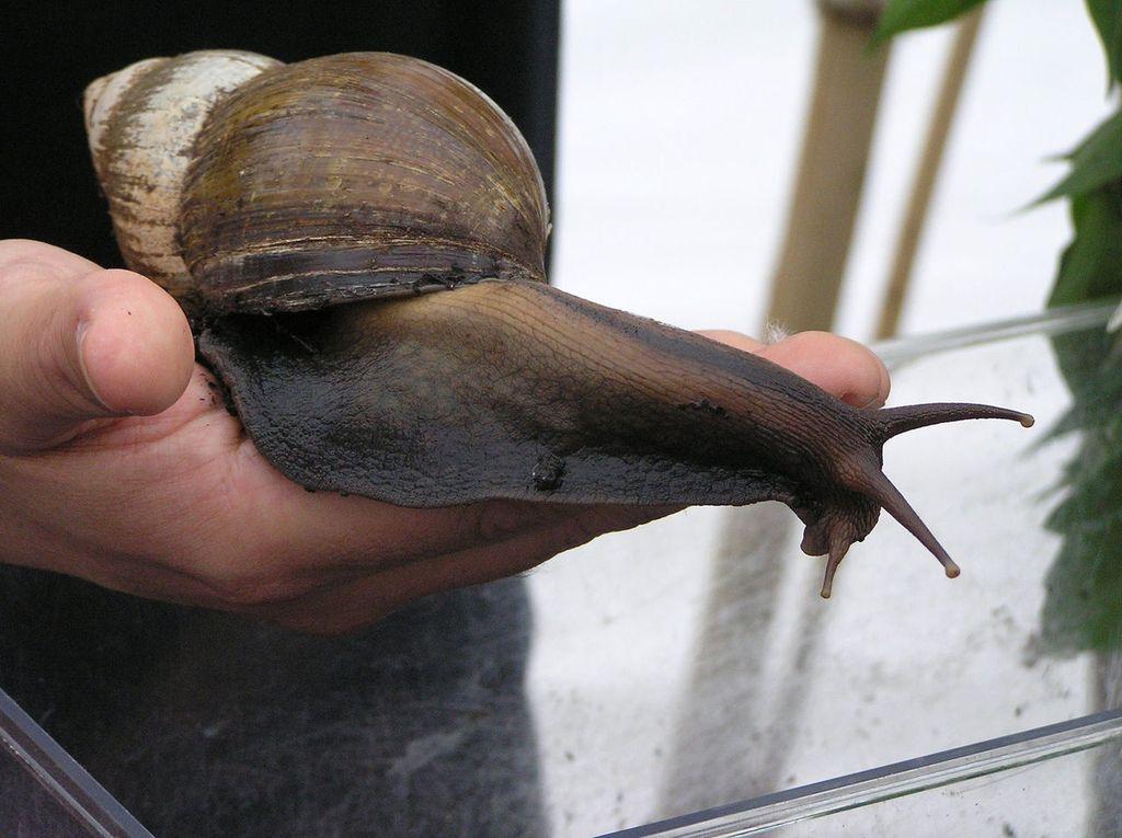 Гигантская улитка Ахатина  (лат. Achatina fulica)