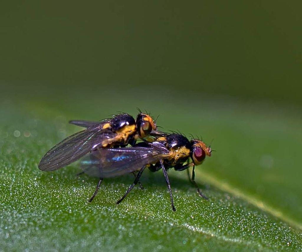 Пасленовый минер или томатный листовой минер Пасленовый минер (лат. Liriomyza bryoniae)