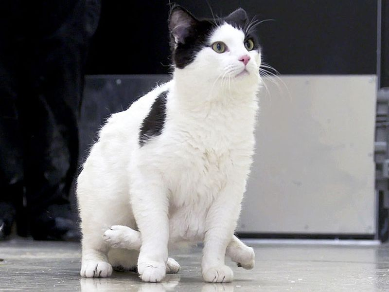 Шестилапому коту собирают деньги на операцию