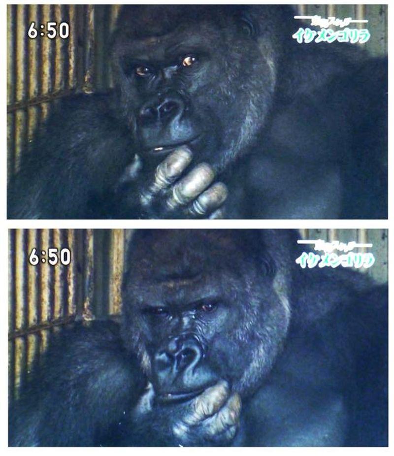 Самый красивый самец гориллы в мире стал звездой соцсетей