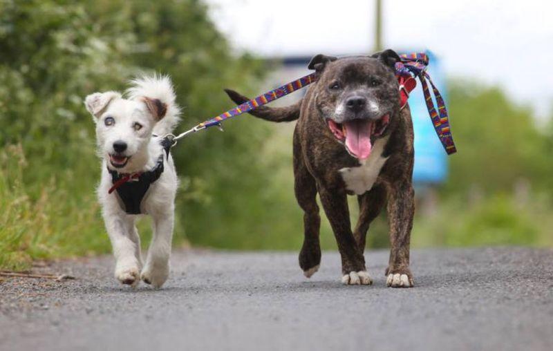 Слепой терьер и его бультерьер-поводырь спаслись в буре благодаря дружбе