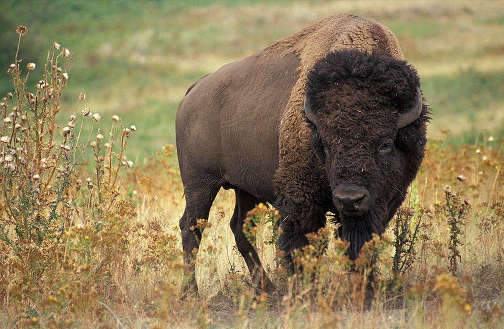 5 интересных фактов о бизонах