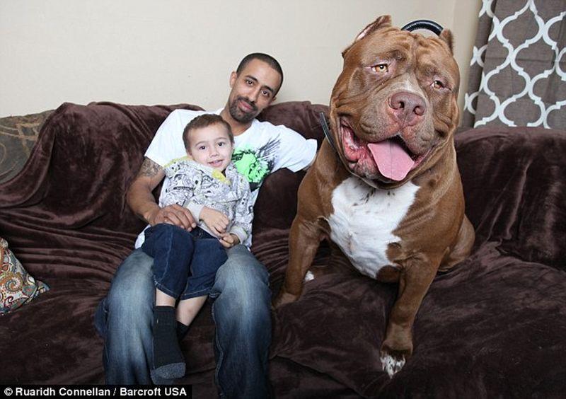 Питбуль-гигант весит, как взрослый человек, и съедает два килограмма мяса в день