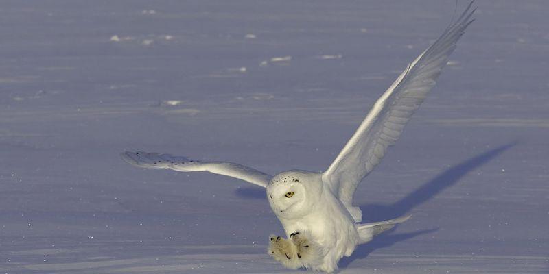 о в картинки тундре сове полярной