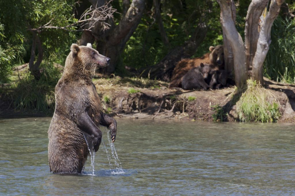Как бурый медведь охотится на лосося