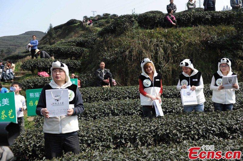 Панда-чай - самый дорогой в мире чай на медвежьем навозе
