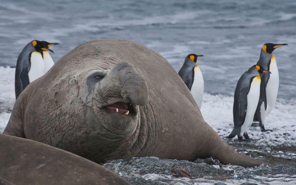 морской слон лежбище