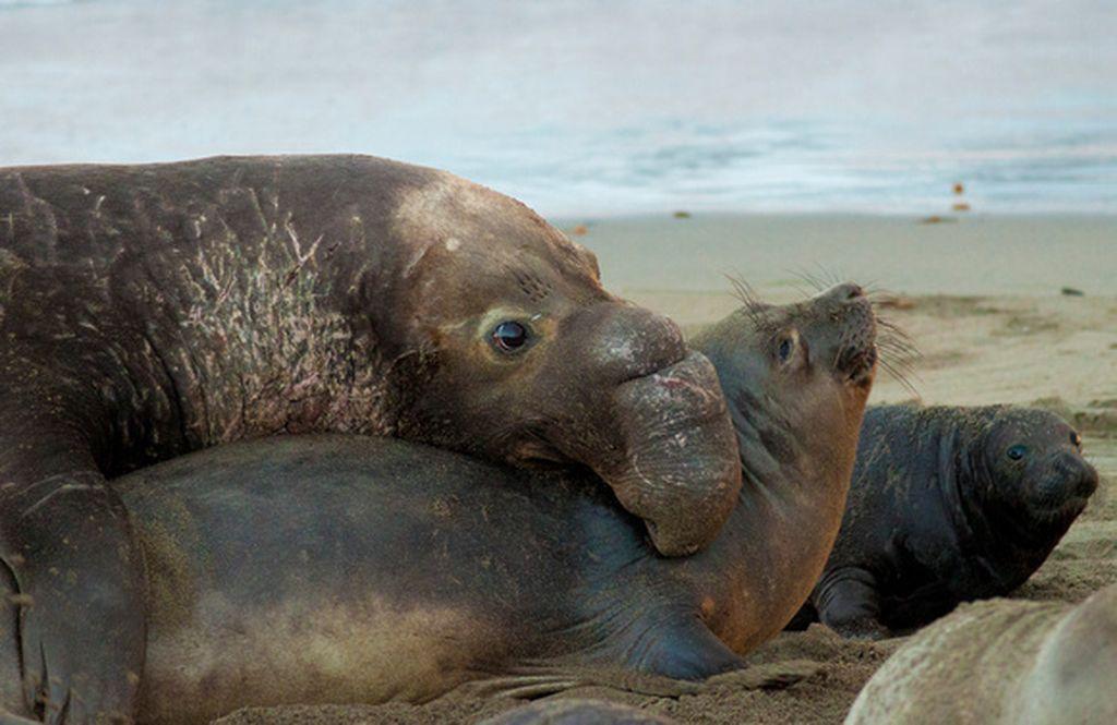 Морские гиганты вышли на сушу, чтобы продолжить род