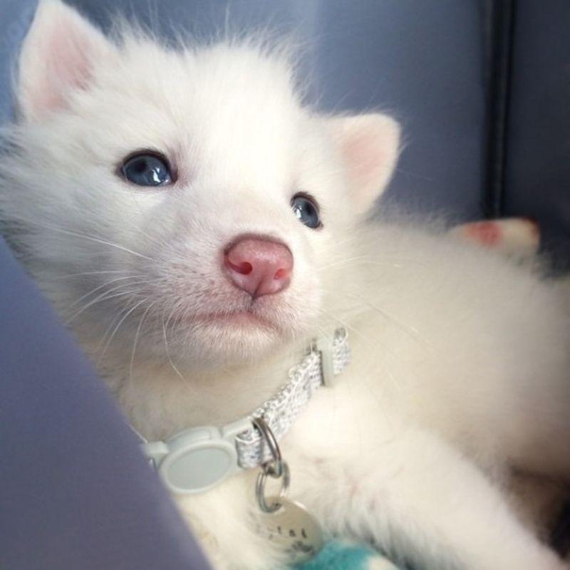 Белая лисичка Райлай - звезда Instagram