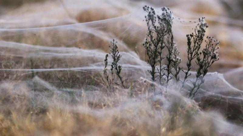 Феномен Волосы ангела: пауки окутали здания и поля одеялами из паутины