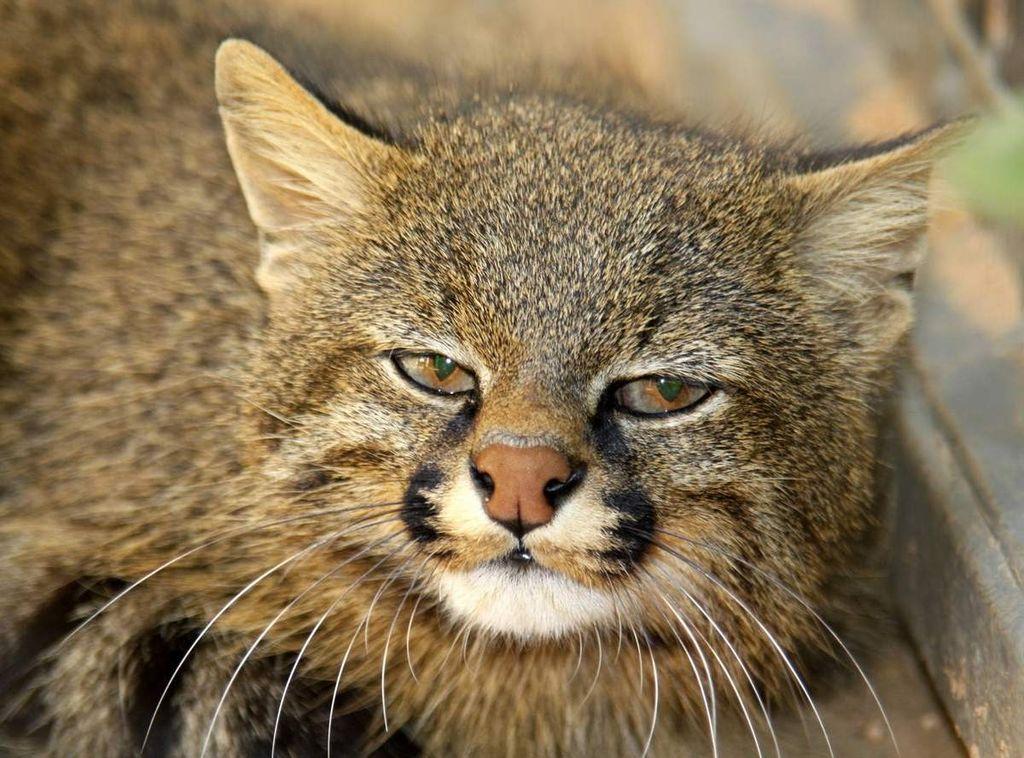 Пампасская кошка (лат. Leopardus colocolo)