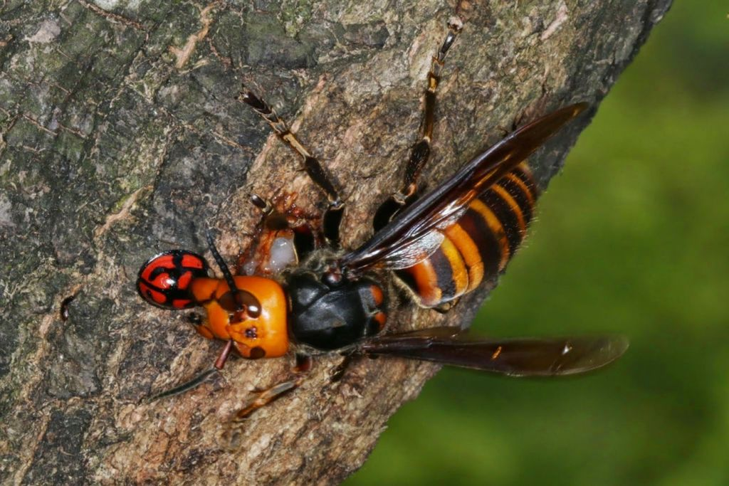 насекомые и из знакомые шершень